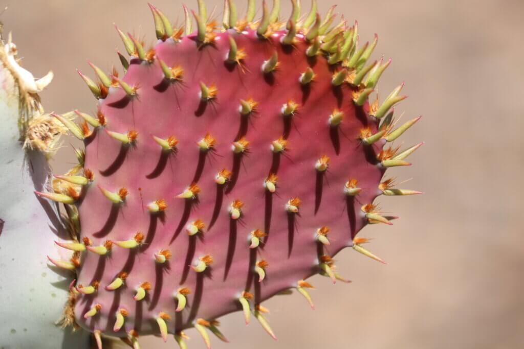 Prickly cactus